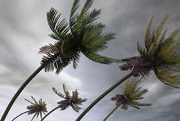 Palm tress blowing in stormy weather