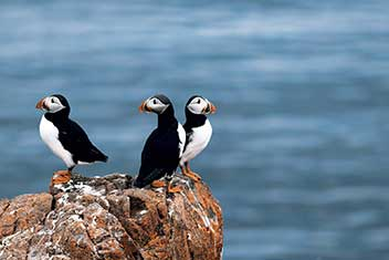 Puffins sitting on a rock