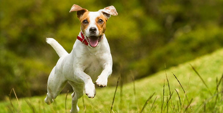Happy Jack Russell dog leaping through a field