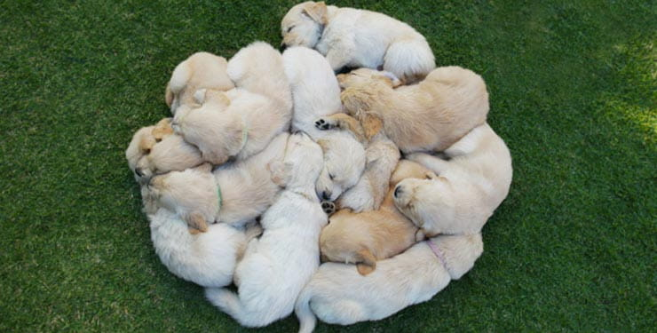 Lots of puppies snuggling on a lawn