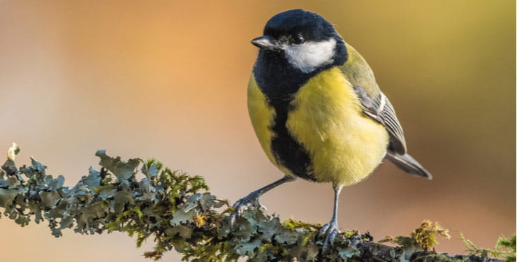 Great Tit sitting on a moss-clad branch