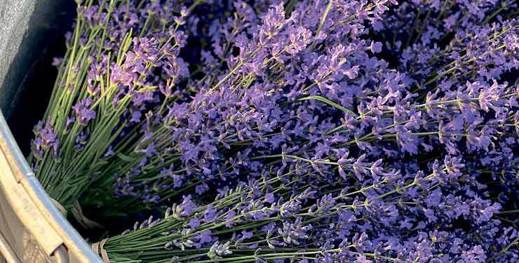 Lavender plants from Thompson & Morgan
