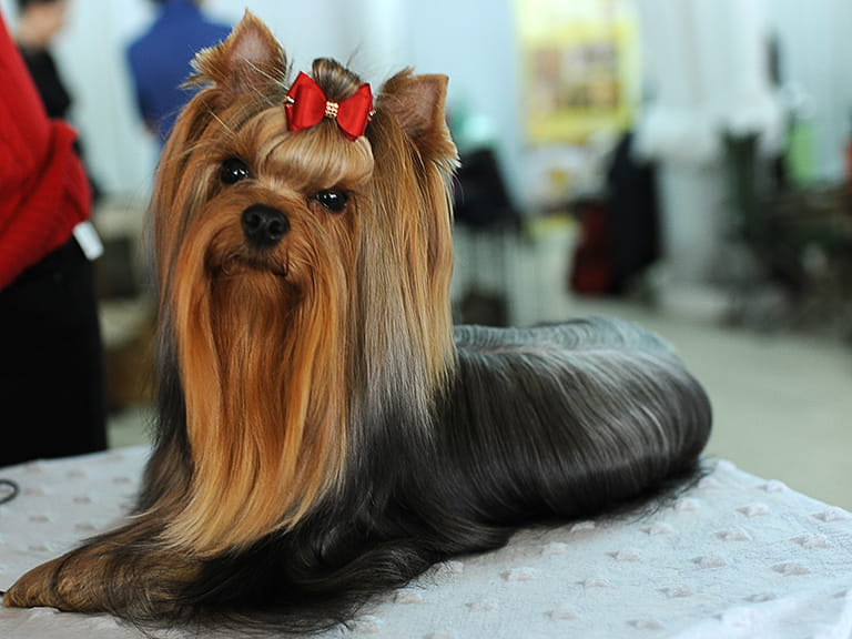 A prize winning Yorkshire Terrier to represent Peter Purves' 41 years as a presenter for Crufts Dog Show