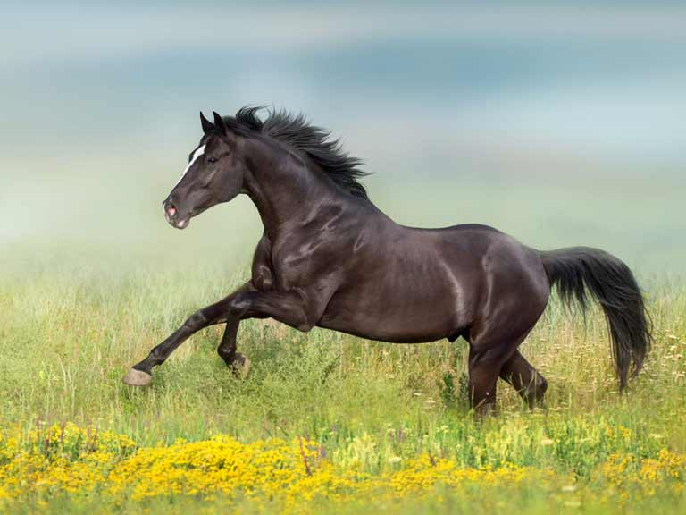 A black horse galloping through a field