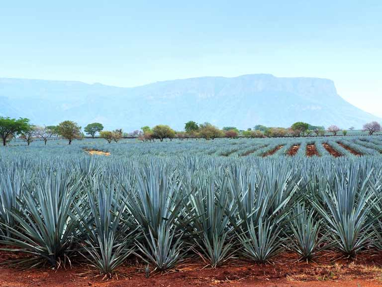 Blue agave, the plant used to make tequila