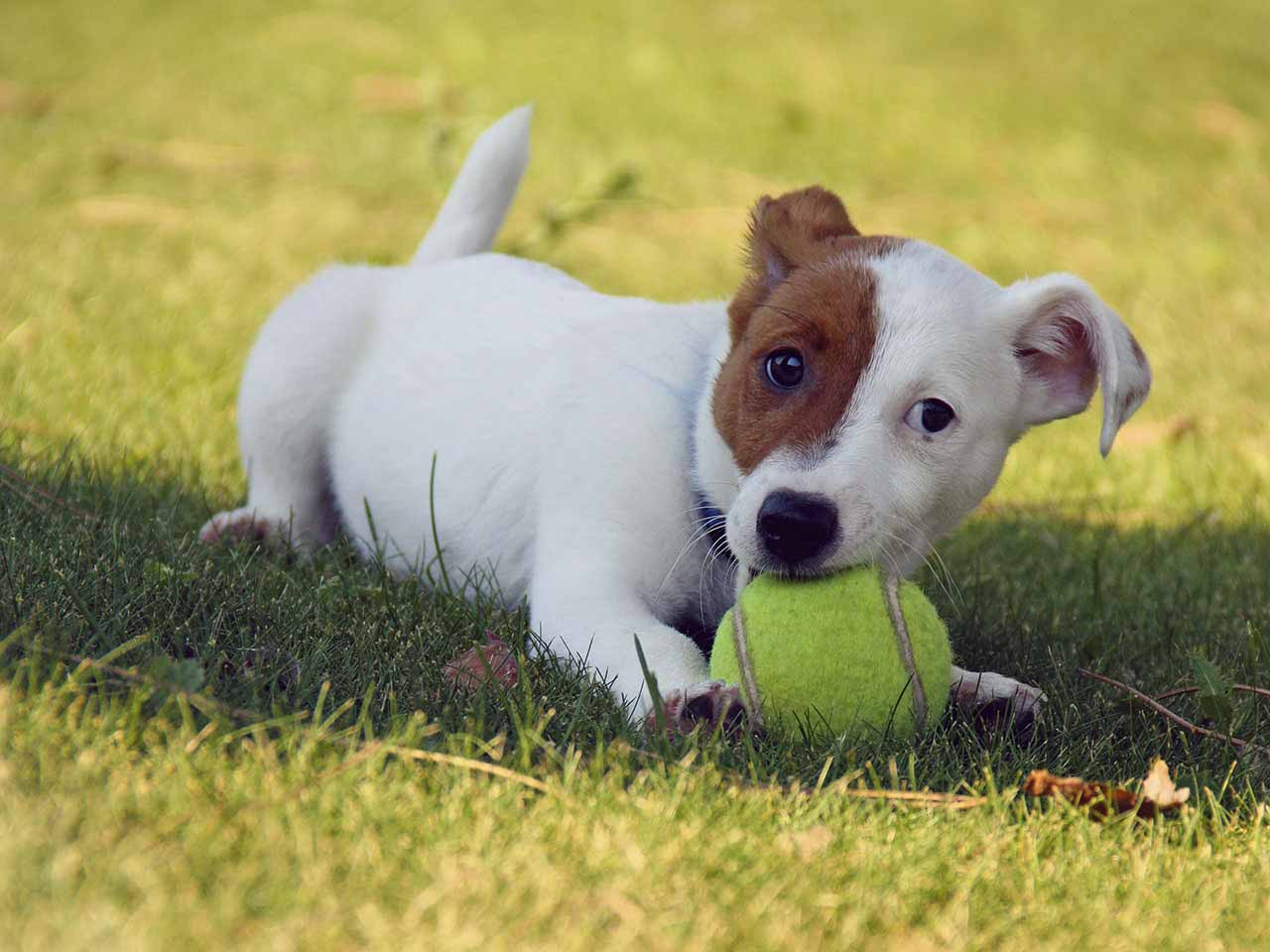 Dog playing a tennis ball game