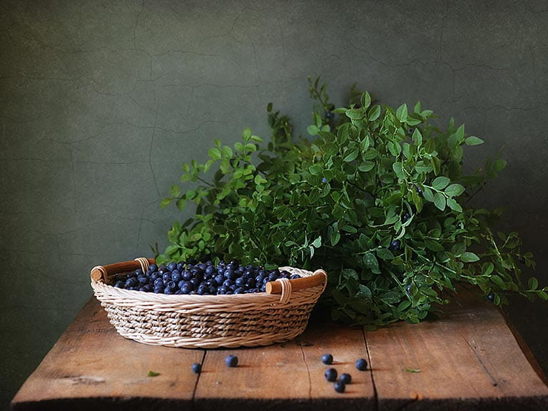 Bilberry plant and bilberries in a basket