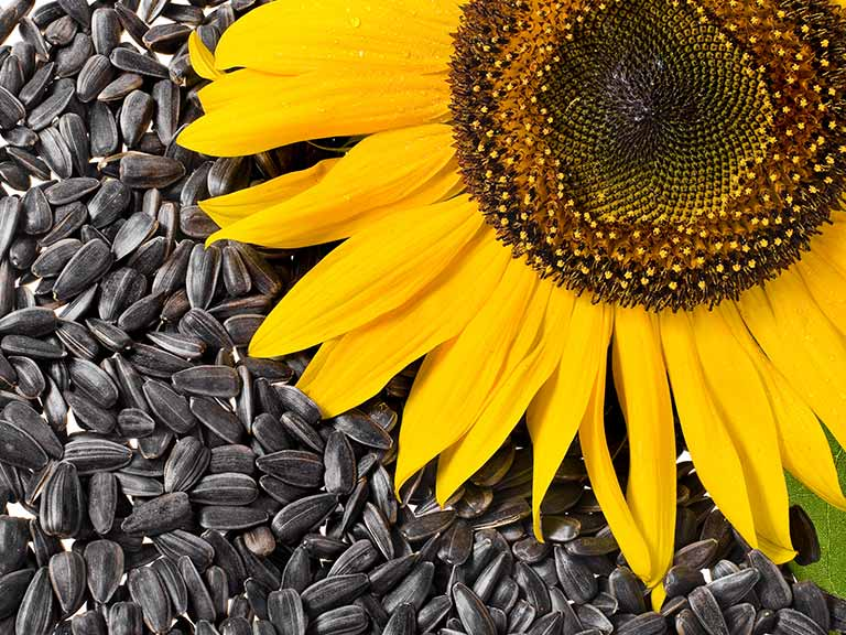 Sunflower seeds and a sunflower head