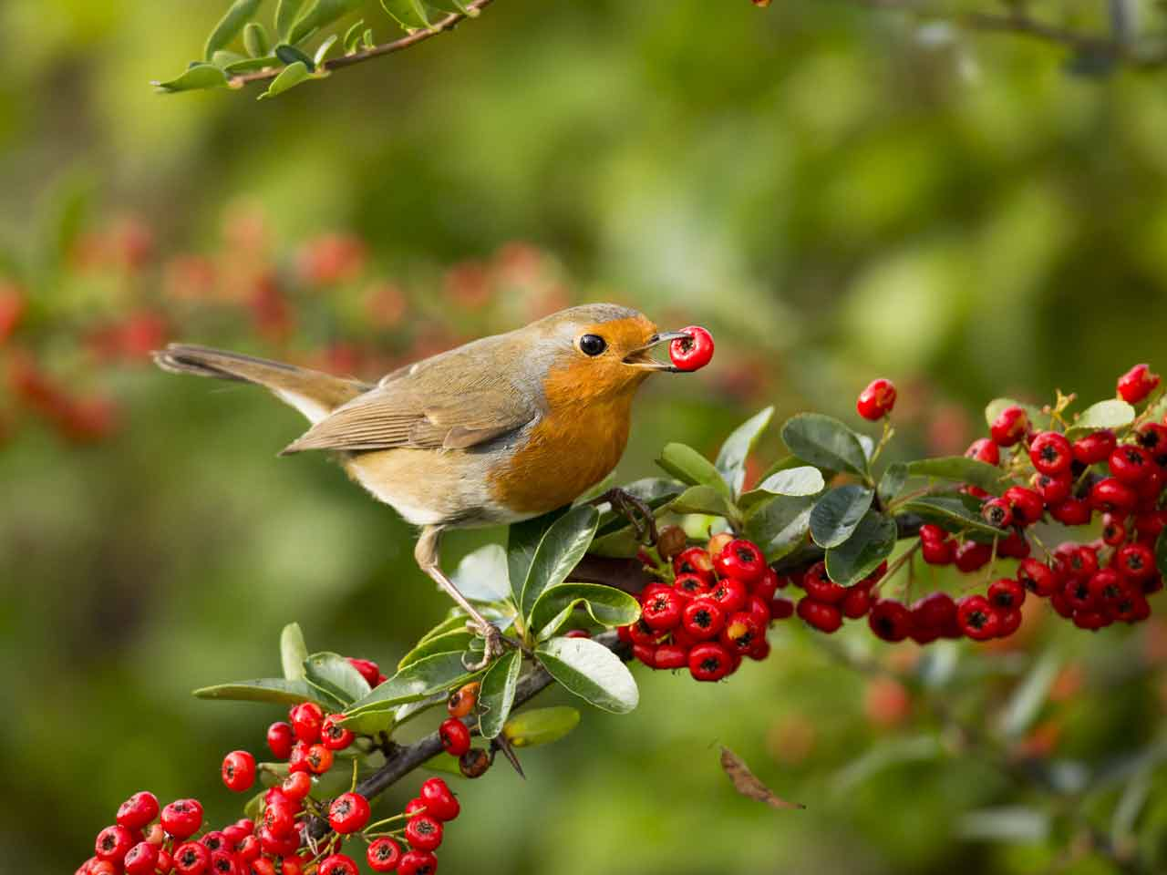 Robin feeding on pyracantha