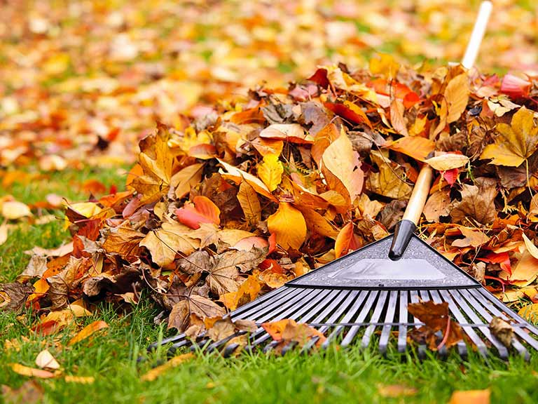 Autumn leaves being raked