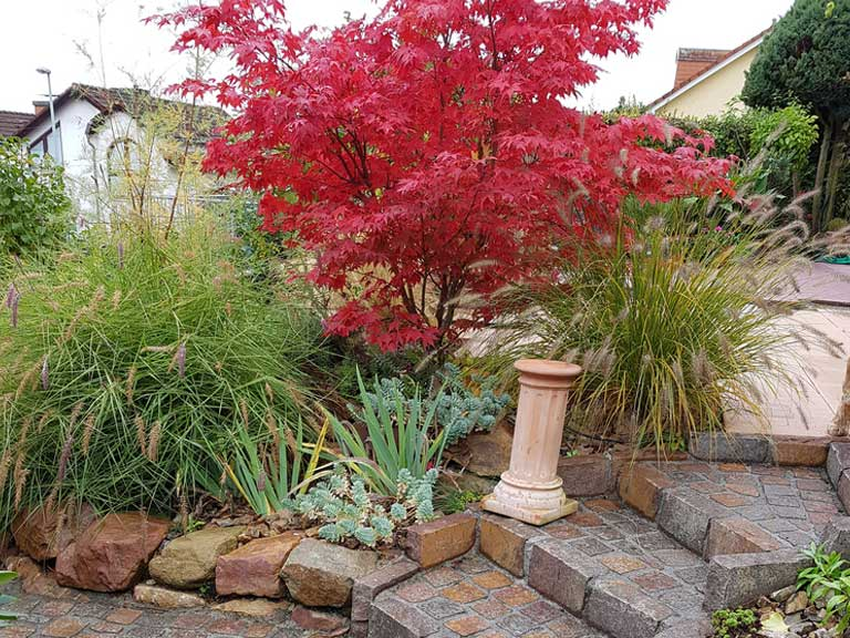 How to grow japanese maples/acers - Saga