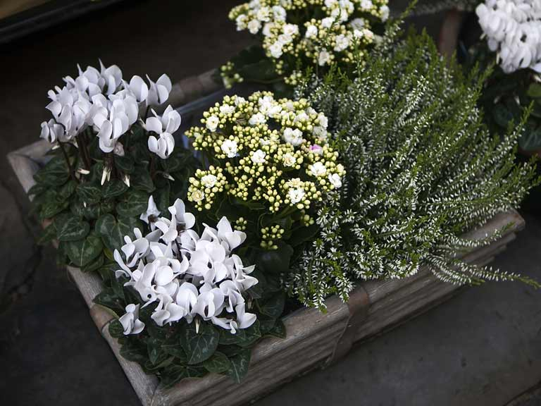 A white-themed autumn container with cyclamen and heather