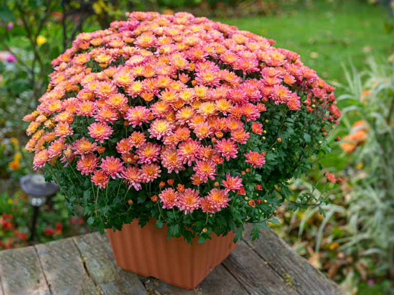 Chrysanthemums in a container