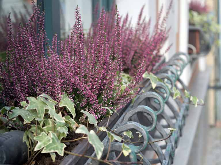 Ivy in container with winter-flowering heather