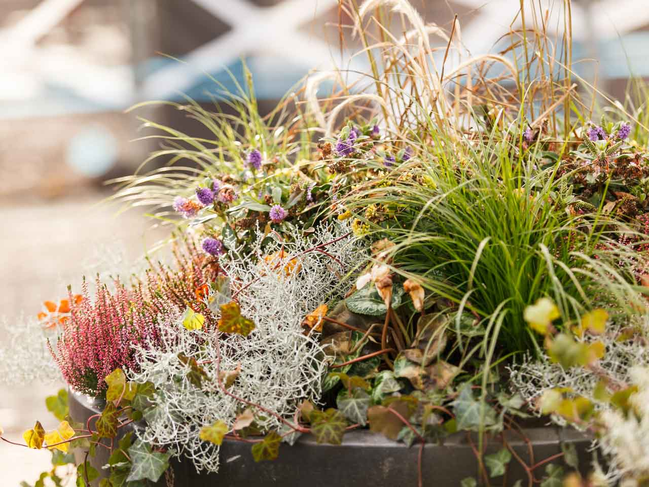 Autumn into winter containers saga - Winter flowers for balcony ...