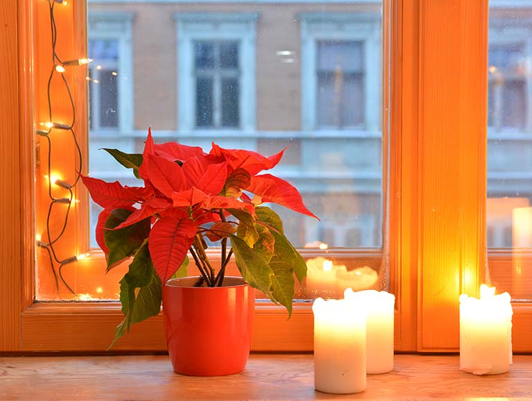 Festive poinsettia with Christmas candles