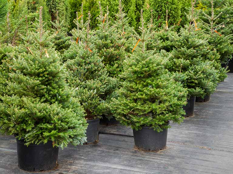 Real Christmas trees growing in pots