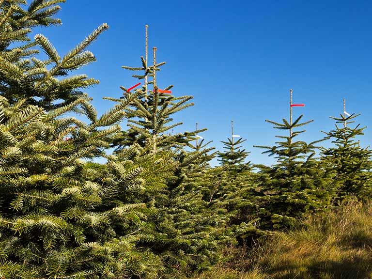 Growing Christmas trees for sale