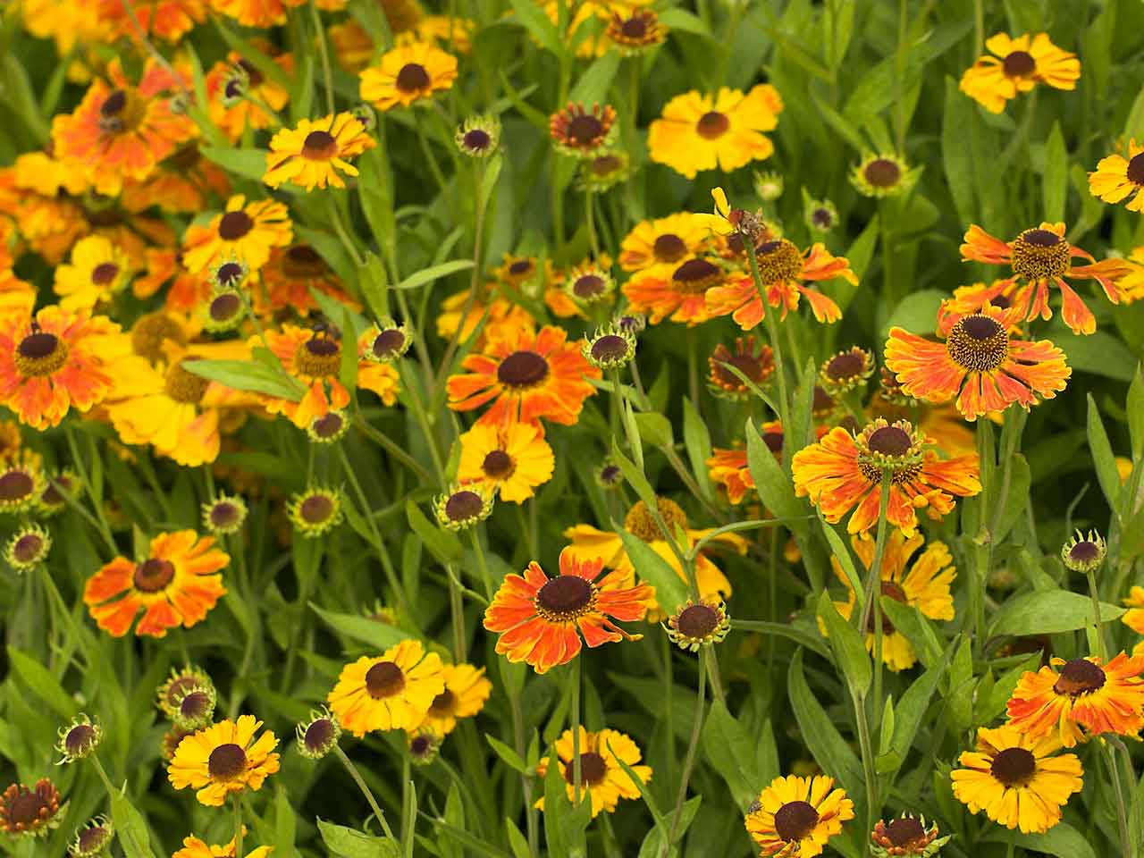 Plants that are at their best in august saga orange heleniums mightylinksfo