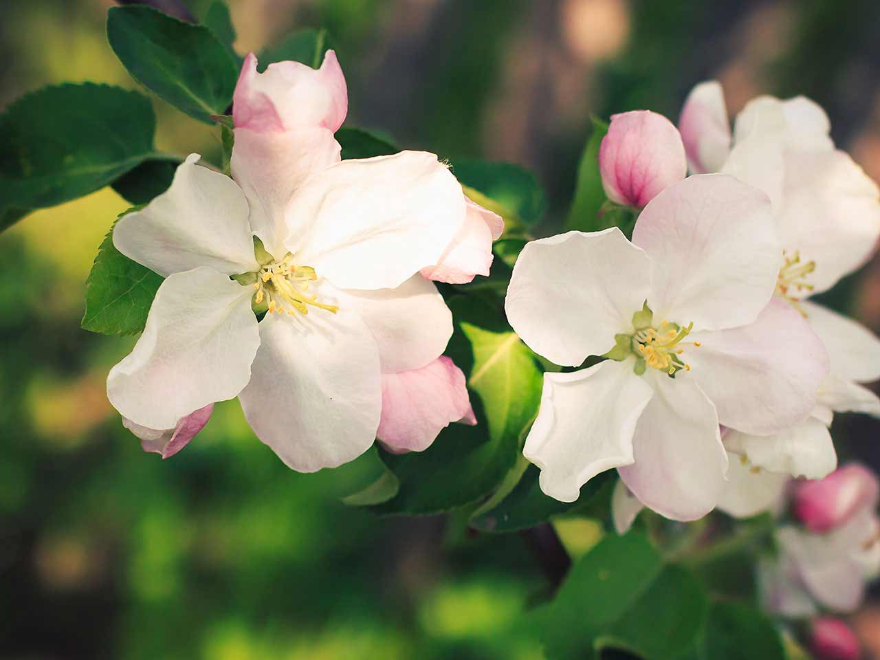 Blooming apple blossom