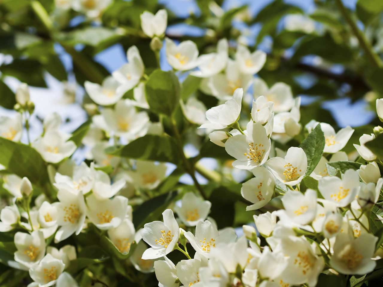 Choosing fragrant plants for your garden saga fragrant white and yellow jasmine flowers izmirmasajfo