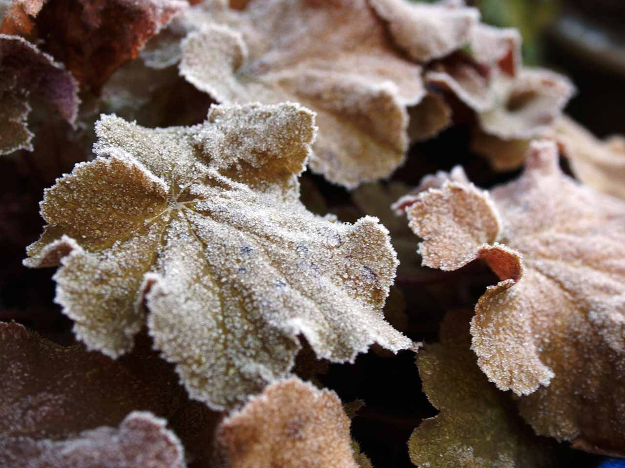 Heuchera plant with frosty leaves in the winter