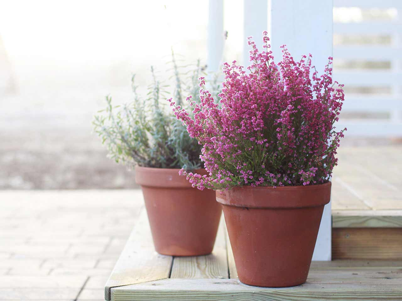 Ponk heather growing in pots