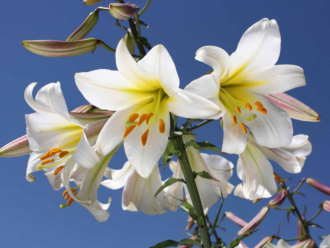 White lilies against a blue sky