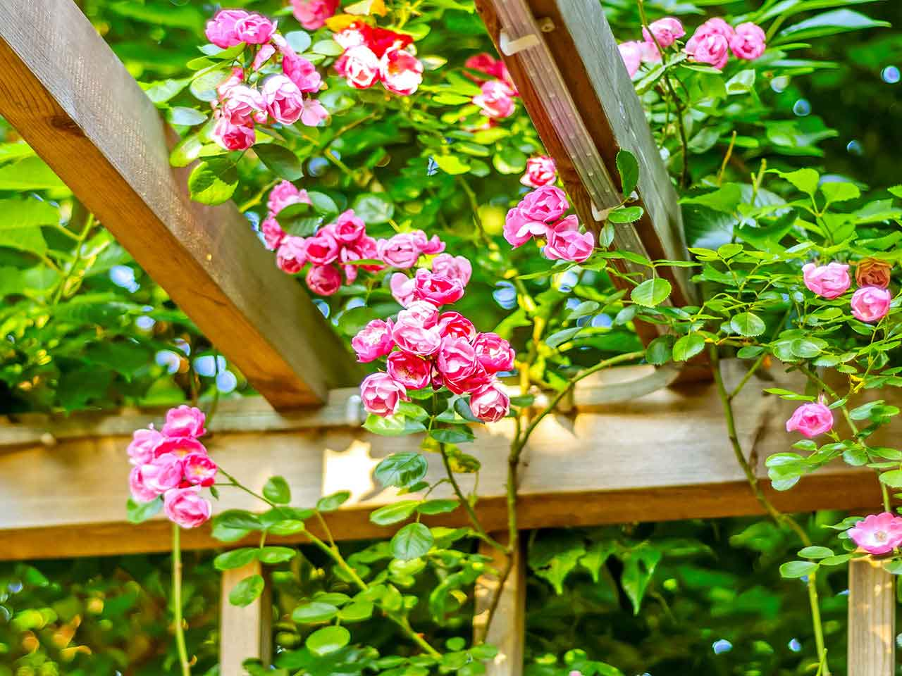 Rambling roses growing over a wooden frame