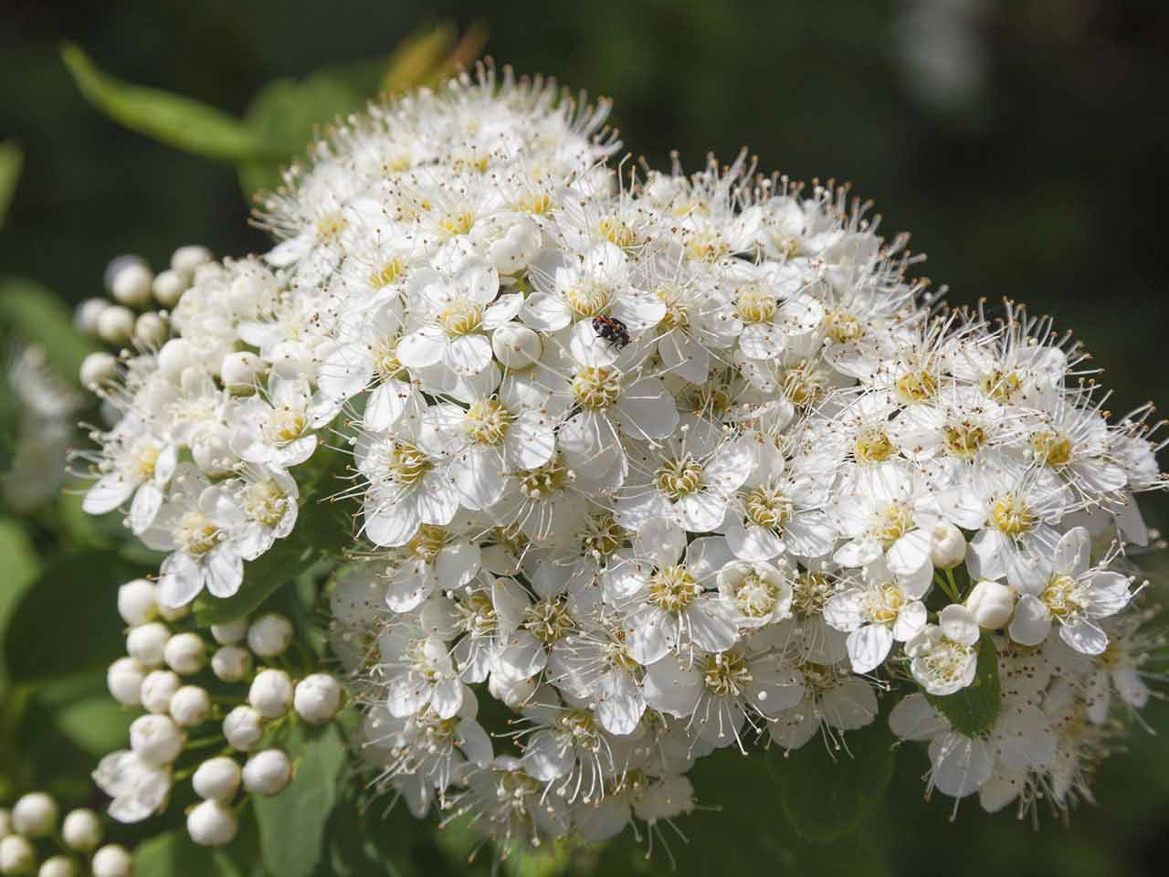 Flowering Shrubs: How to Choose, Plant and Grow Shrubs