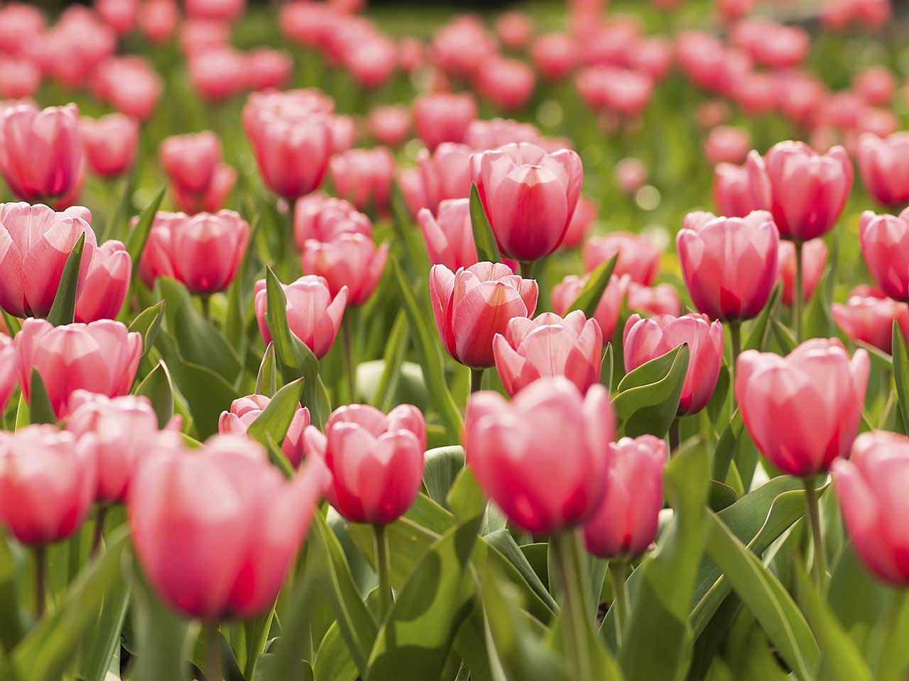 Pink tulips growing in the garden
