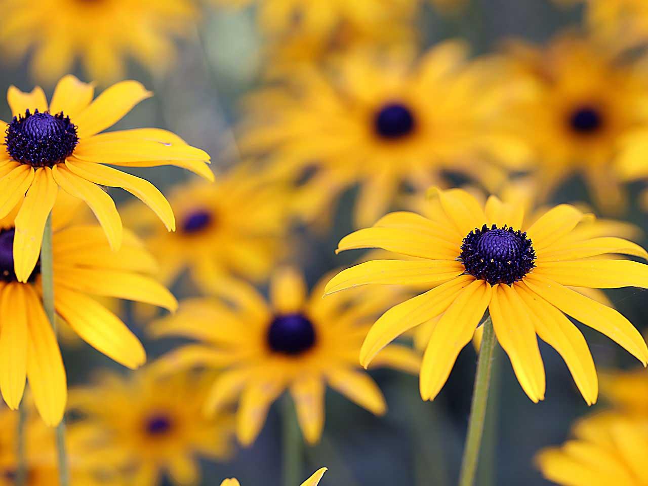 Garden in august in a garden - Gold Daisies In The Garden