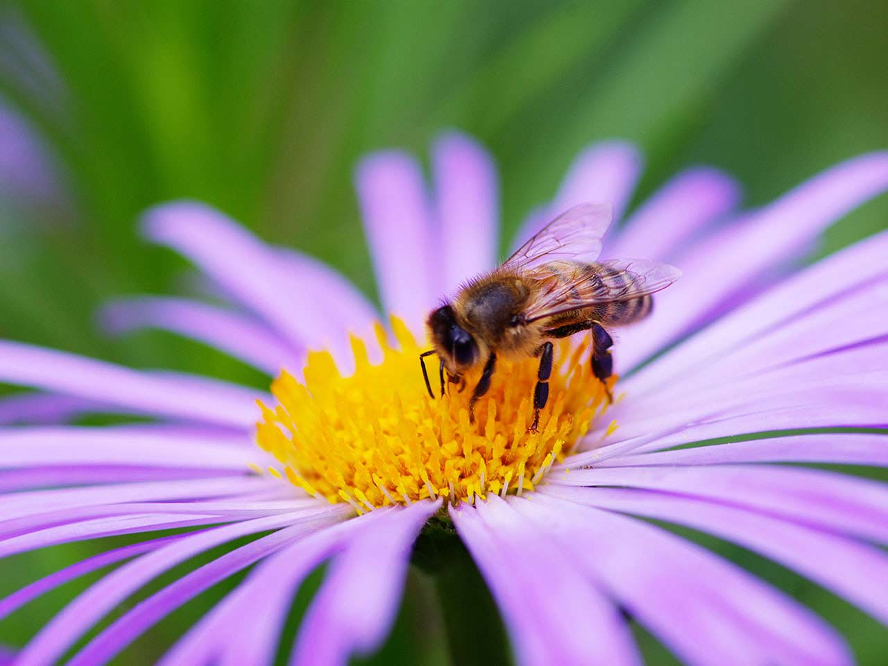 Bee sitting on a purple flower