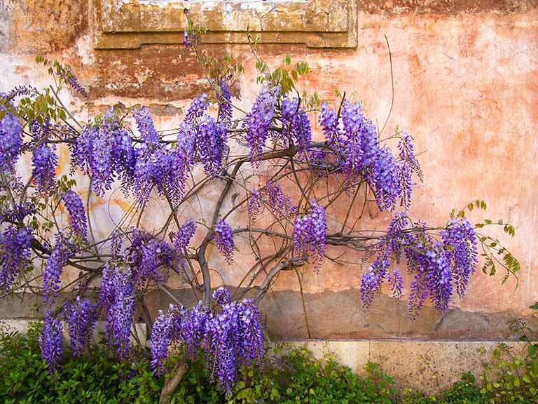 Purple wisteria growing against an orange wall