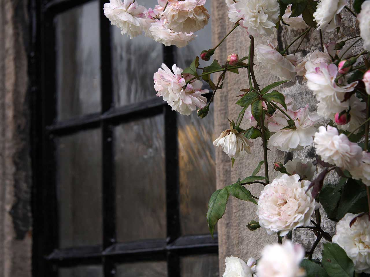 Rambling roses around a window