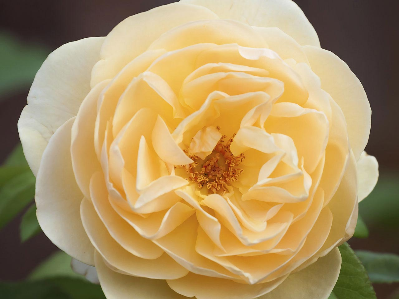 Buff Beauty scented rose