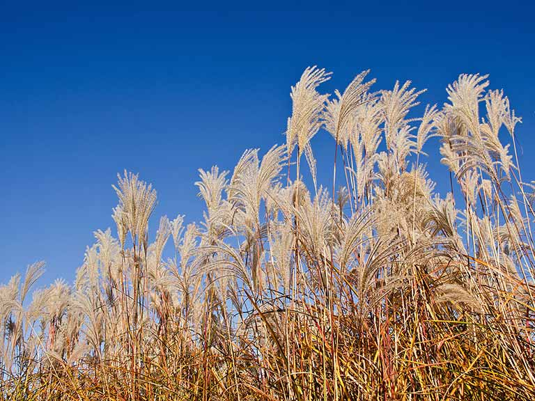 Miscanthus Sinensis blowing against a blue sky