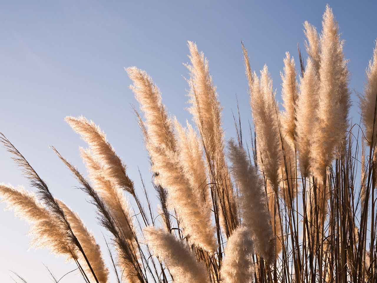 Pampas grass against a blue sky