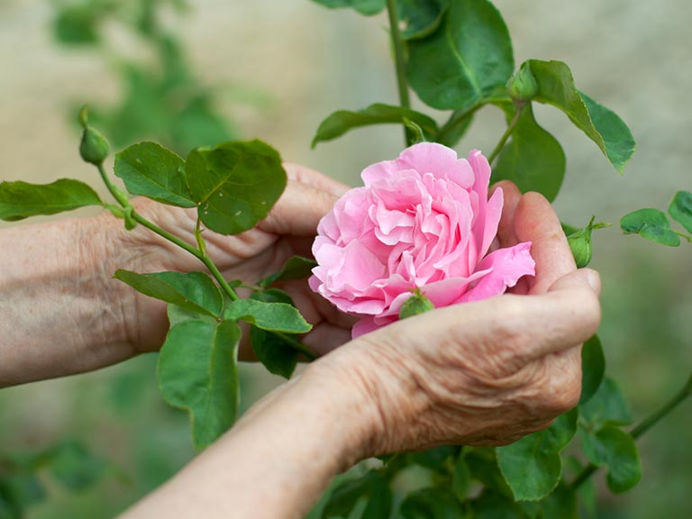 Elderly hand holding pink rose
