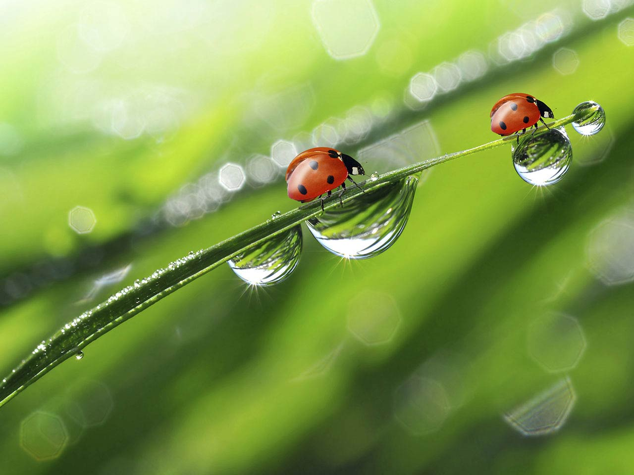 Ladybird sitting on leaf with dewdrops