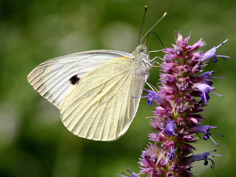 Female large cabbage white butterfly