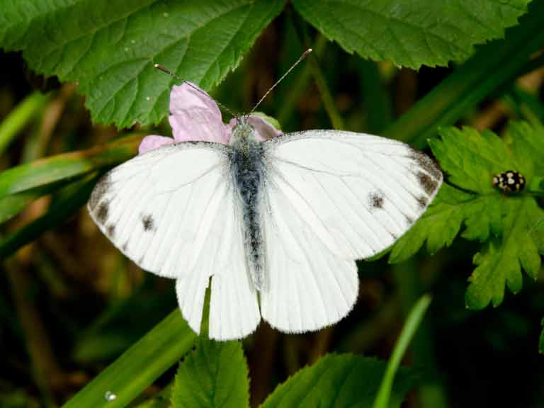 Female small cabbage white butterfly