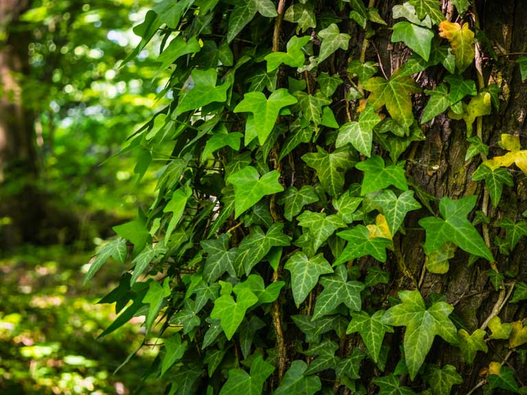 Ivy on a tree