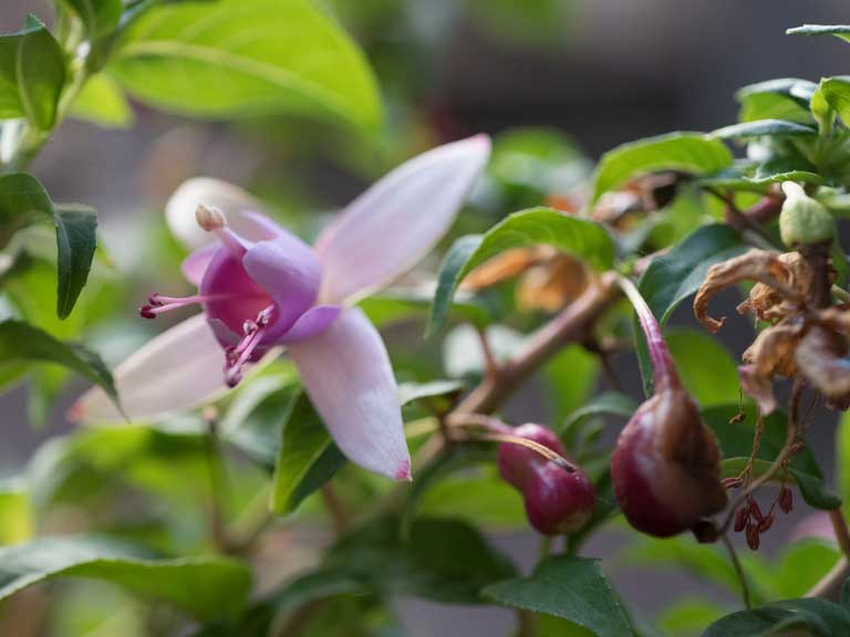 Fuchsia with dying leaves and flowers