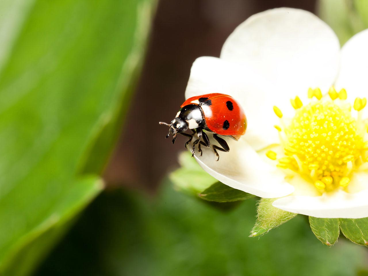 A ladybird, a predator of aphids