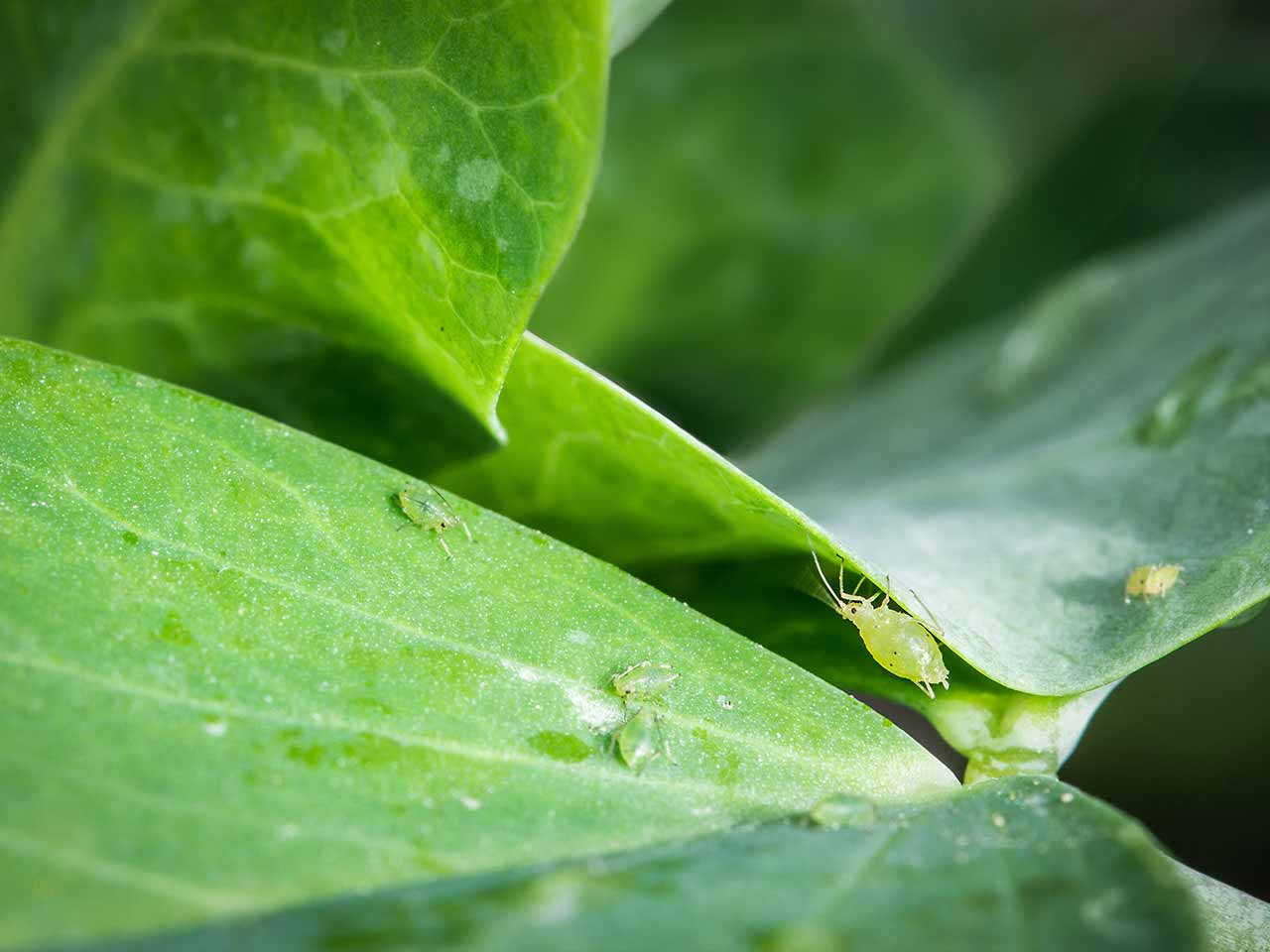 Aphid control: How to get rid of aphids - Saga