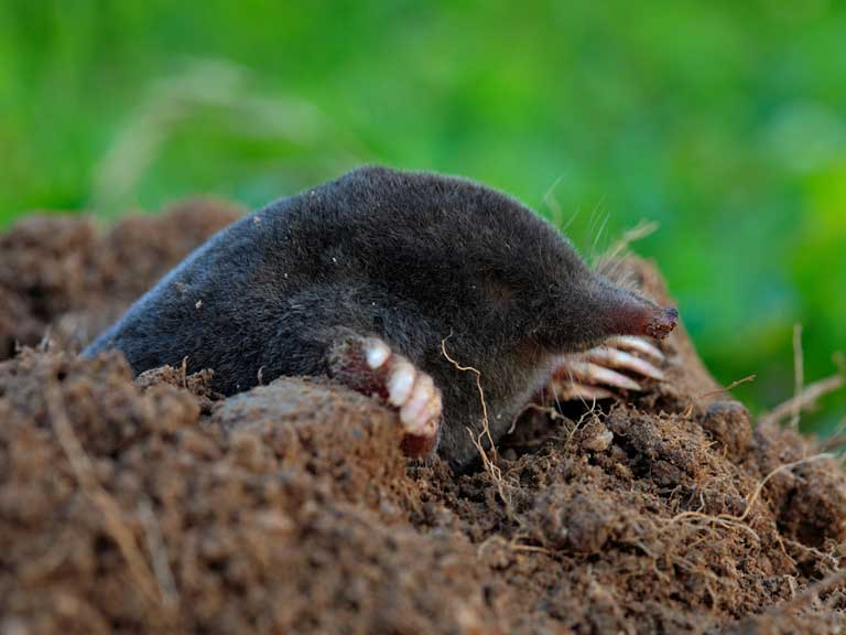 Mole emerging from hole