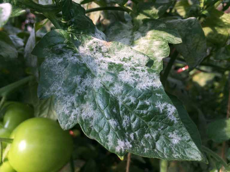Powdery mildew on a tomato plant