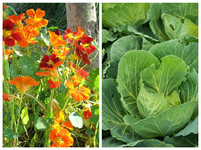 Nasturtium and cabbage