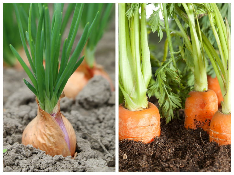 Onions and carrots companion planting